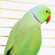 Green parrot — Stock Photo #49591219