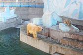 Orsi bianchi allo zoo — Foto Stock