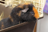 Cute little cavy — Photo