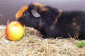Cavy and apple — Stok fotoğraf