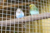 The parrots — Stock Photo
