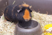 Cute little cavy — Stock fotografie