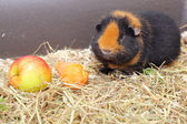Cavy and vegetables — Stock fotografie