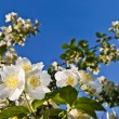 Branches of blooming jasmine against the blue sky. — Stock Photo