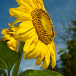 Sunflower against the blue sky. — Stock Photo