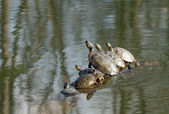 Turtles — Fotografia Stock