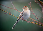 Chipping Sparrow — Stockfoto