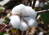 Cotton — Stock Photo