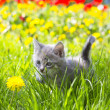 Adorable grey kitten — Stock Photo #46732363