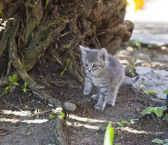 Cute little grey kitten — Stok fotoğraf