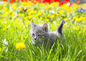 Adorable grey kitten — Stock Photo