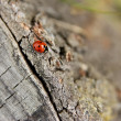Crawling ladybird — Stock Photo