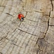 Royalty-Free Stock Photo: Crawling ladybird