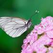 Regular white butterfly on flower — Stock Photo