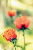 Poppy. — Stock Photo