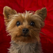 Curious Yorkie — Stock Photo