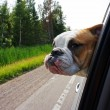 Bulldog looking out car window — Stock Photo #51351617