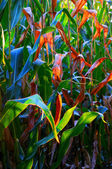 Maize field — Photo