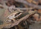Wood Frog Sitting — Stock Photo