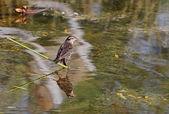 Female Red-winged Blackbird Reflection — Stock Photo