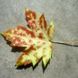 Wild Autumn Maple Leaf - Stock Photo