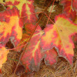Radiant Red Maple Leaves — Stock Photo