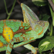 Stock Photo: Veiled Chameleon