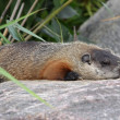 Resting Groundhog — Stock Photo