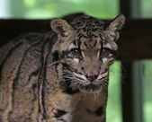 Clouded Leopard Face — Stockfoto