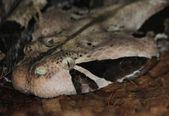 Габонская гадюка — Стоковое фото