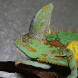 Stock Photo: Male Veiled Chameleon