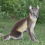 Sitting Arctic Fox — Stock Photo
