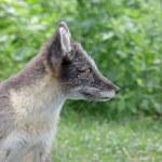 Arctic Fox Looking — Stock Photo