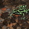 Mint Poison Frog — Stock Photo