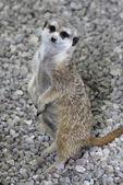 Happy Meerkat — Stock Photo