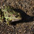 Leopard Frog Sitting — Stock Photo