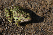 Leopard Frog Sitting — Photo