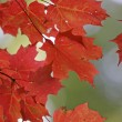 Stock Photo: Vibrant Red Maple Leaves
