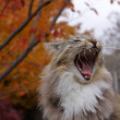 Stock Photo: Open Mouthed Cat