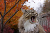 Yawning Kitty Cat — Stock Photo