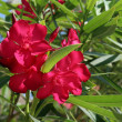 Stock Photo: Red Tropical Flowers