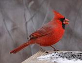 Northern Cardinal Eating — Stock Photo