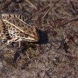 Brown Leopard Frog — 图库照片