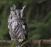 Focused Eastern Screech Owl — Stock Photo
