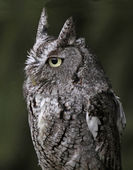 Eastern Screech Owl Close-Up — Stock Photo
