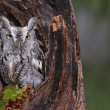 Stock Photo: Screech Owl Looking from Stump