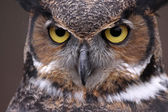 Great Horned Owl Eyes — Stock Photo