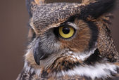 Great Horned Owl Eye — Stock Photo