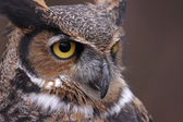 Great Horned Owl Focus — Stock Photo