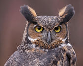 Great Horned Owl Up-close — Stock Photo